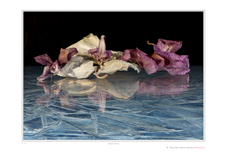 Orchids On Ice
