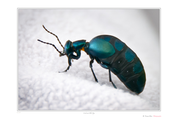 Irridescent Blue Bug