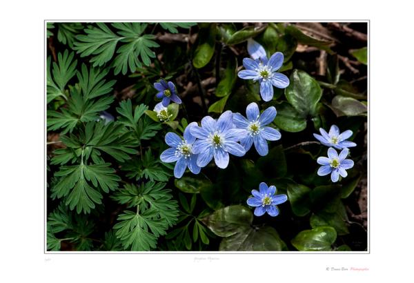 Springtime Hepaticas