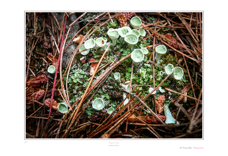 Trumpet Lichens