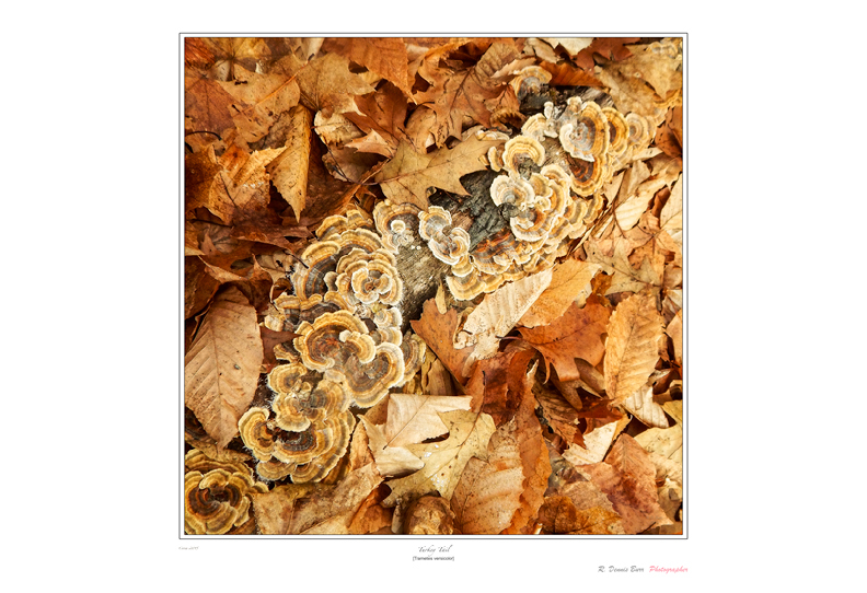 Turkey Tail Fungii