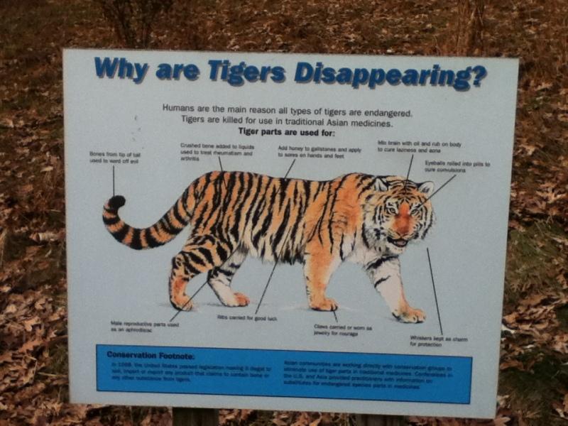Love Tigers Interesting little Crittles