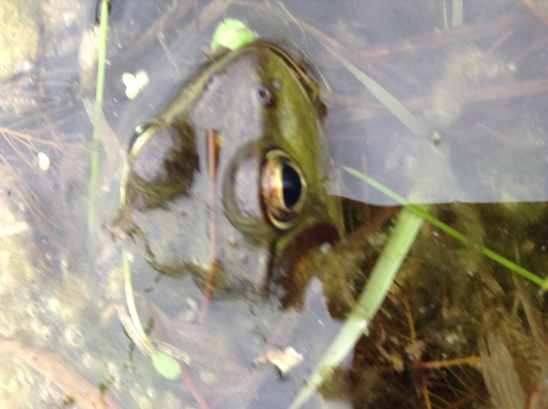Great frog