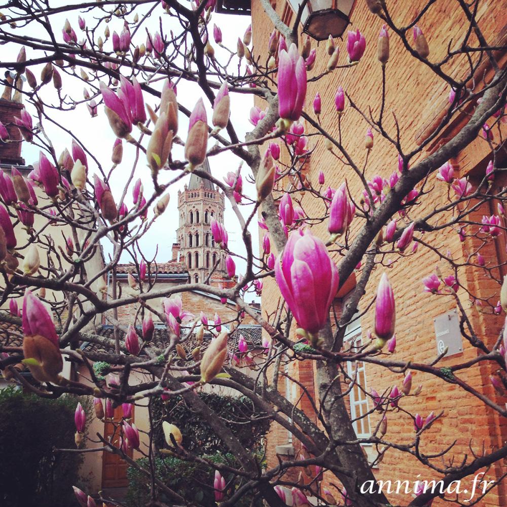 Toulouse, magnolia