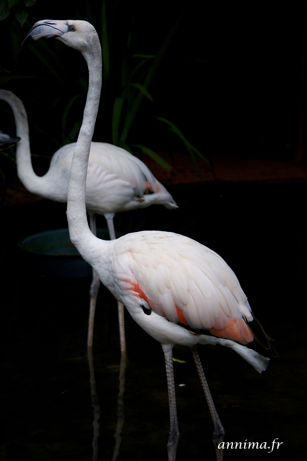 Flamingo, flamant, bird