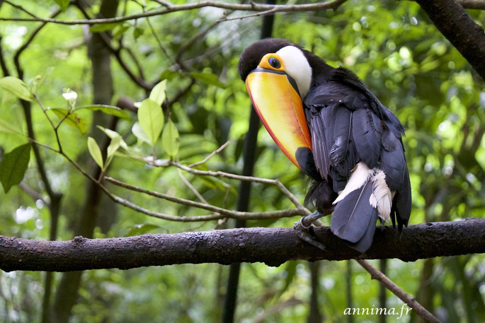 birds, toucan