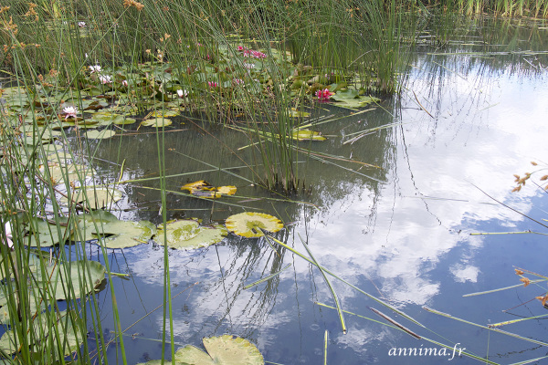 lake, reflection, flowers, nymphea