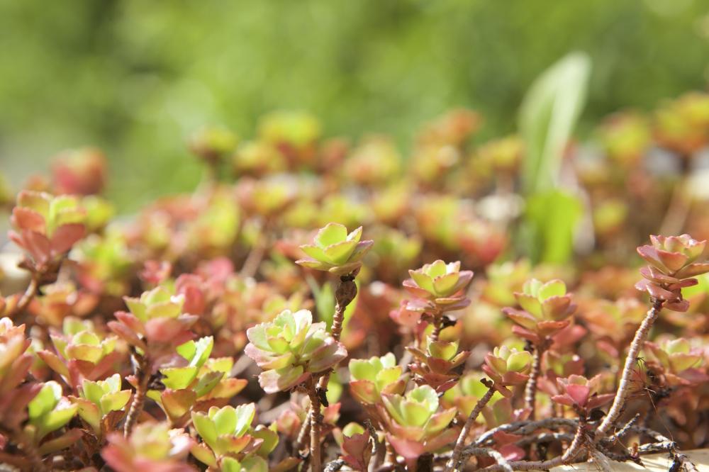 joubarbe, plantes grasses