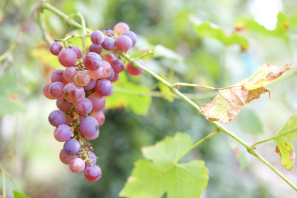 grapes, automn, fall