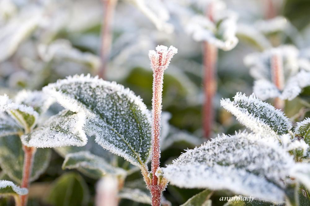 givre, frozen