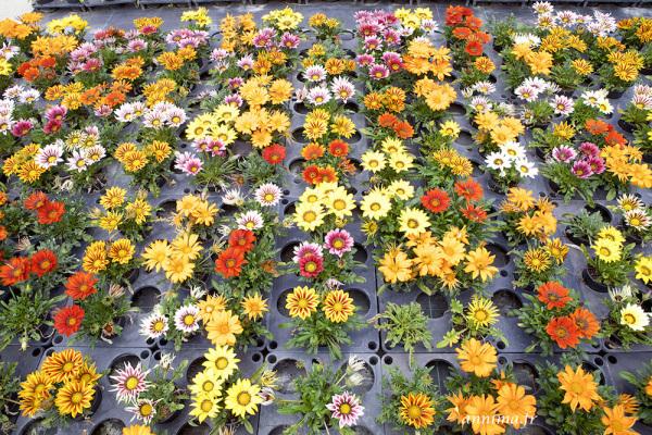 Gazanias, greenhouse