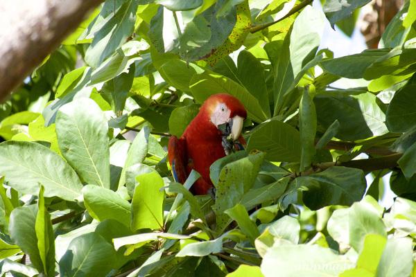 red, parrot, ara