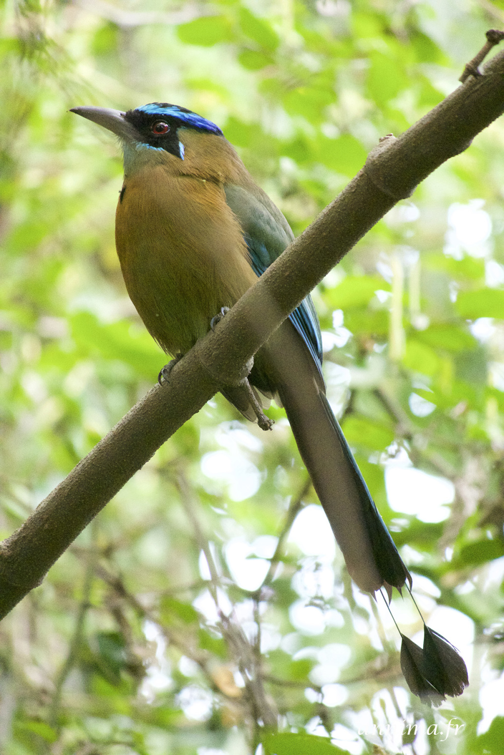 motmot houtouc, bird, blue
