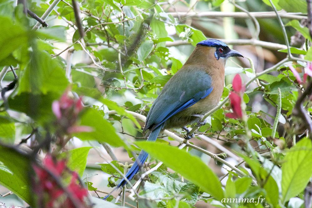 motmot houtouc, bird, blue