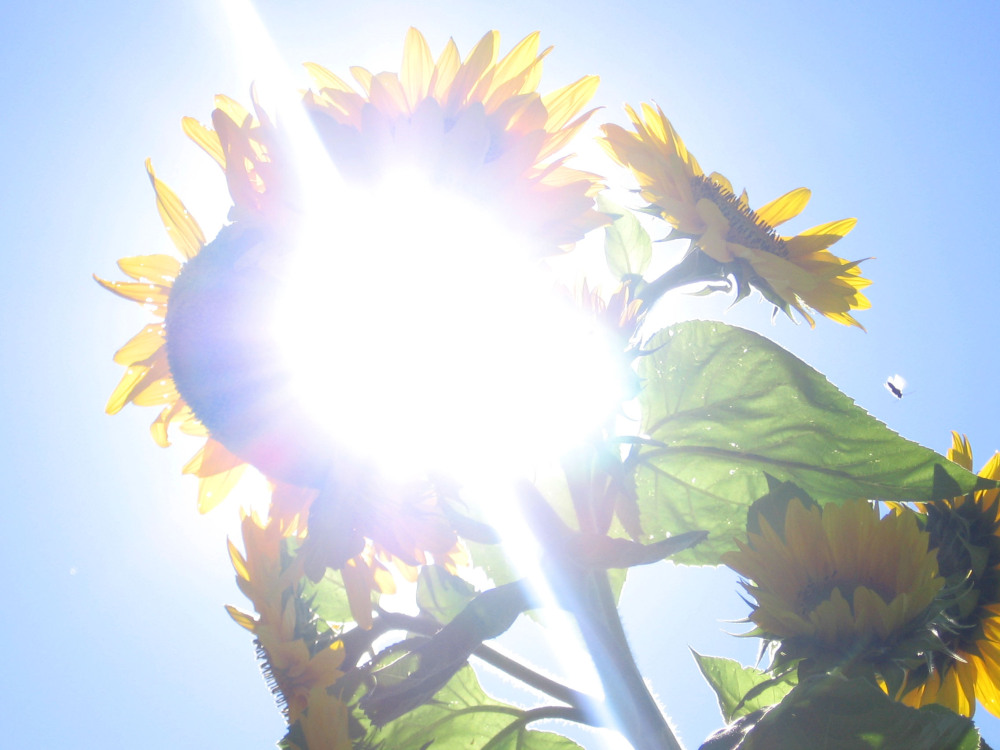 dazzling sun in sunflower