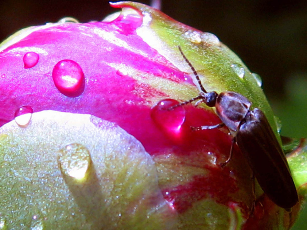 insecte on bright rose