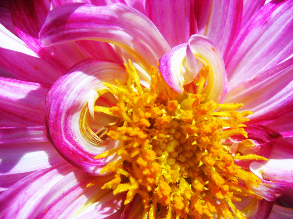 pink and yellow flower