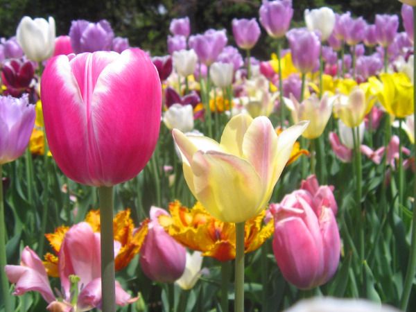 pink tulip of montreal botanical garden