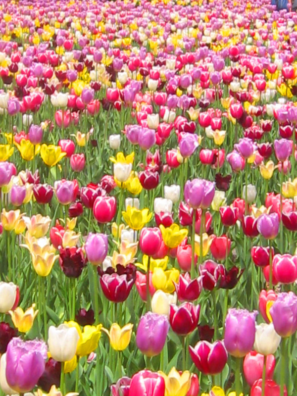 sea of tulips at the botanical garden of Montreal