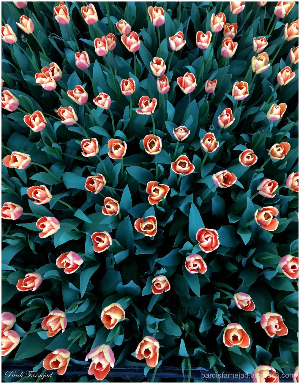 In Love of Tulips