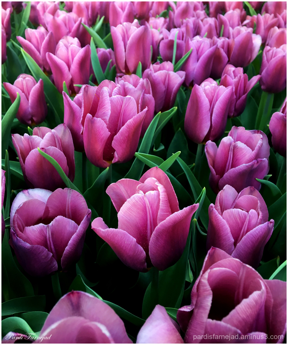 Lovely Purple Tulips