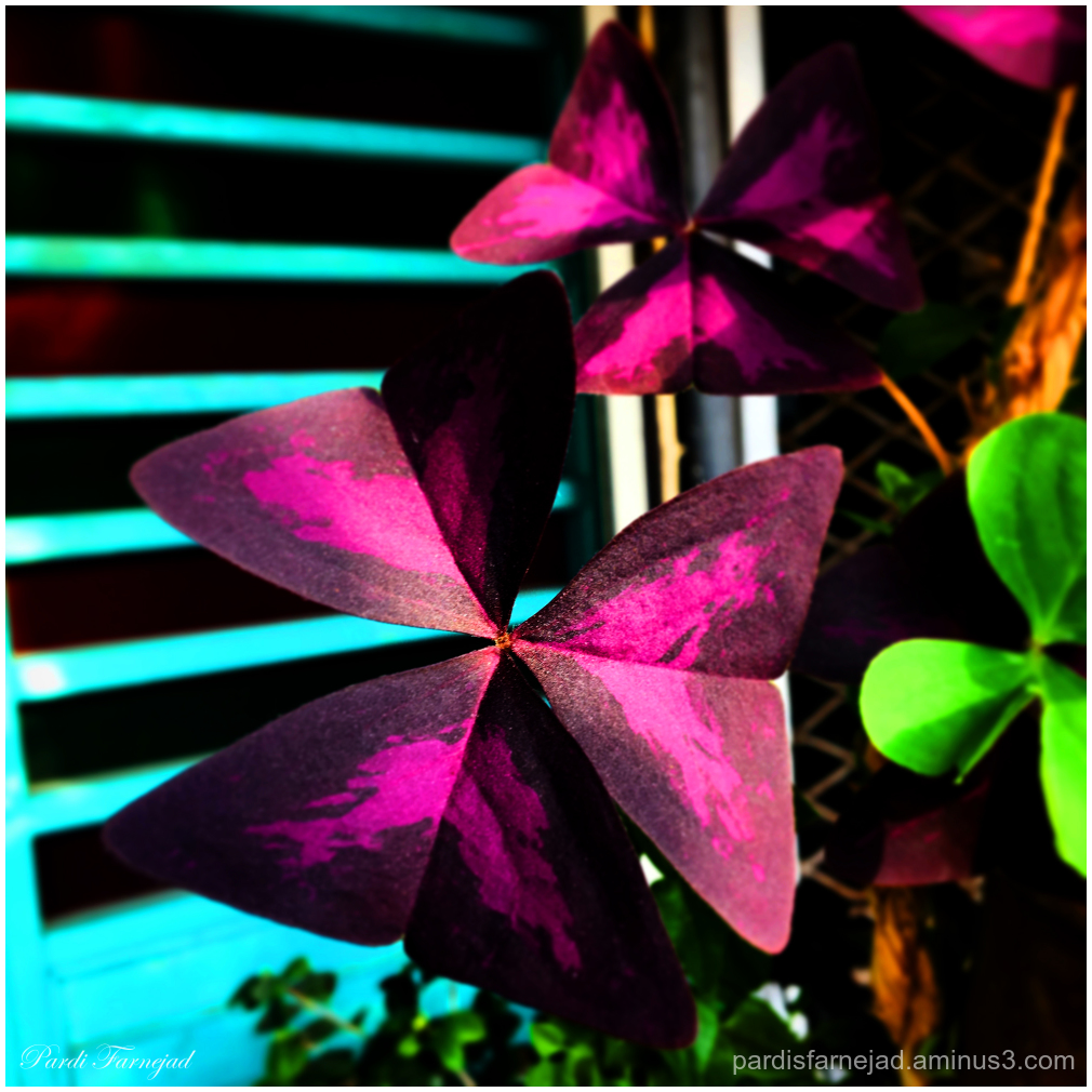 Oxalis Triangularis - Purple