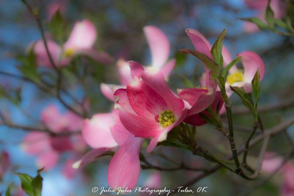 Pink Dogwood Tree