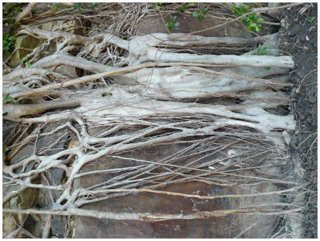 Ficus  Tangled roots