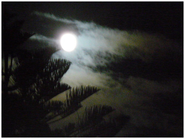 Moon through the pines at midnight