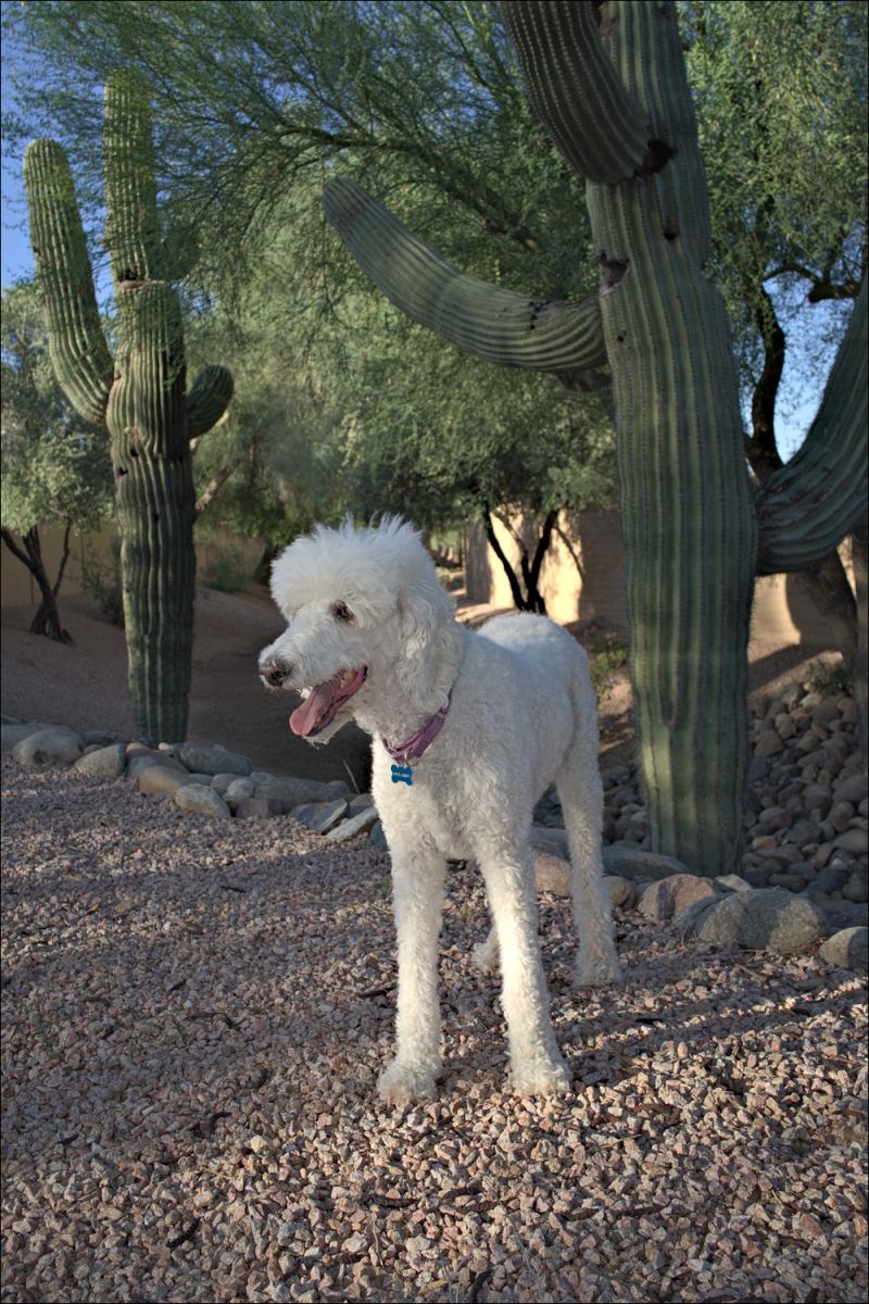 Abby among the saguaros...