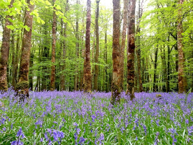 Colorful and magic Bluebell forest in Ireland