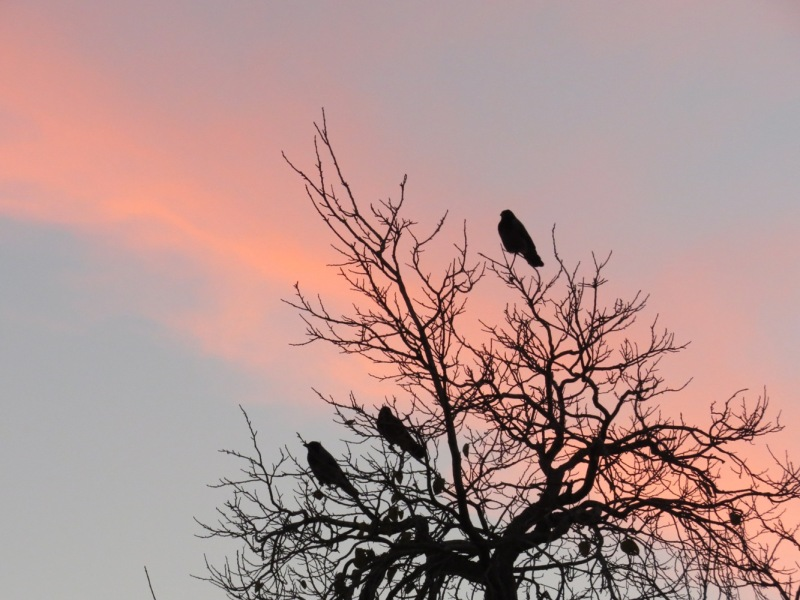 crows and sunset