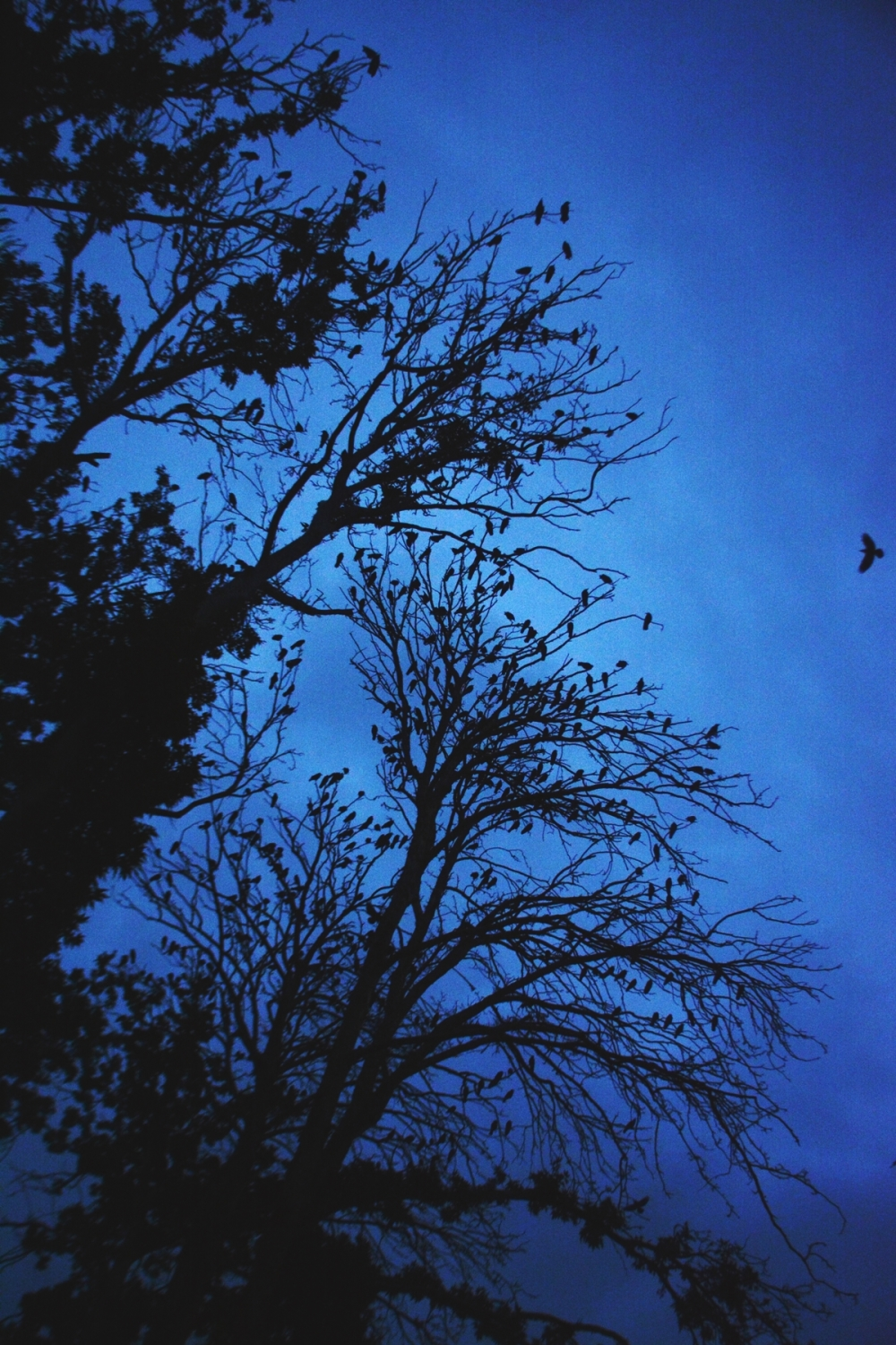 Trees with Crows's leaves