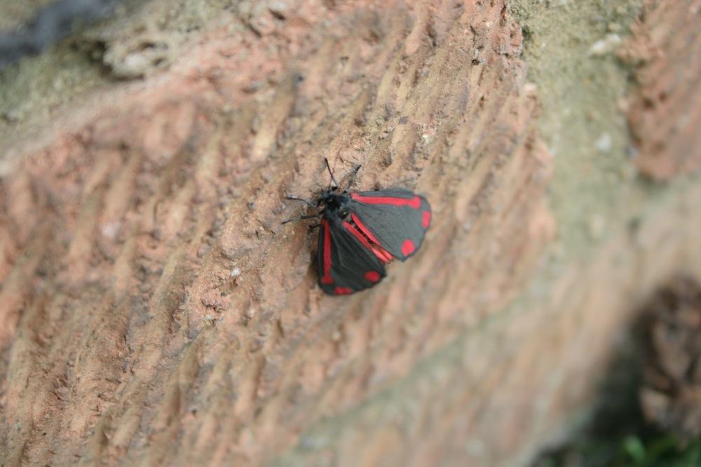 Cinnibar Moth