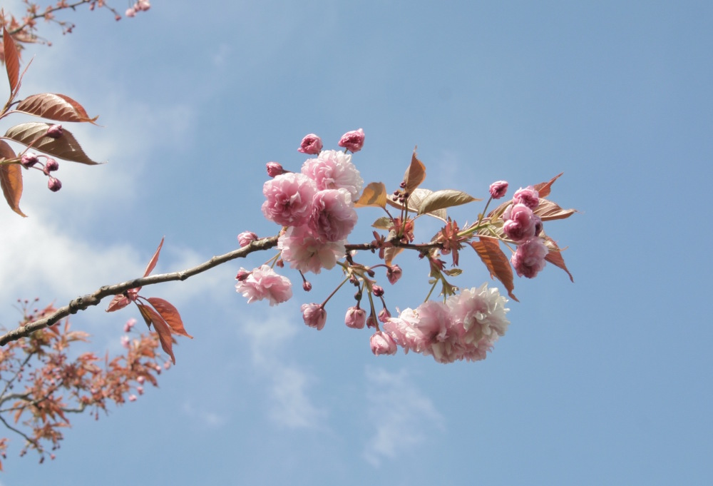 Pink Blossom in the Sky