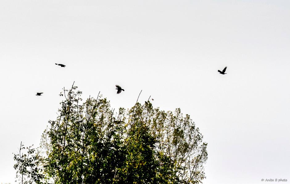 Les corbeaux ... !