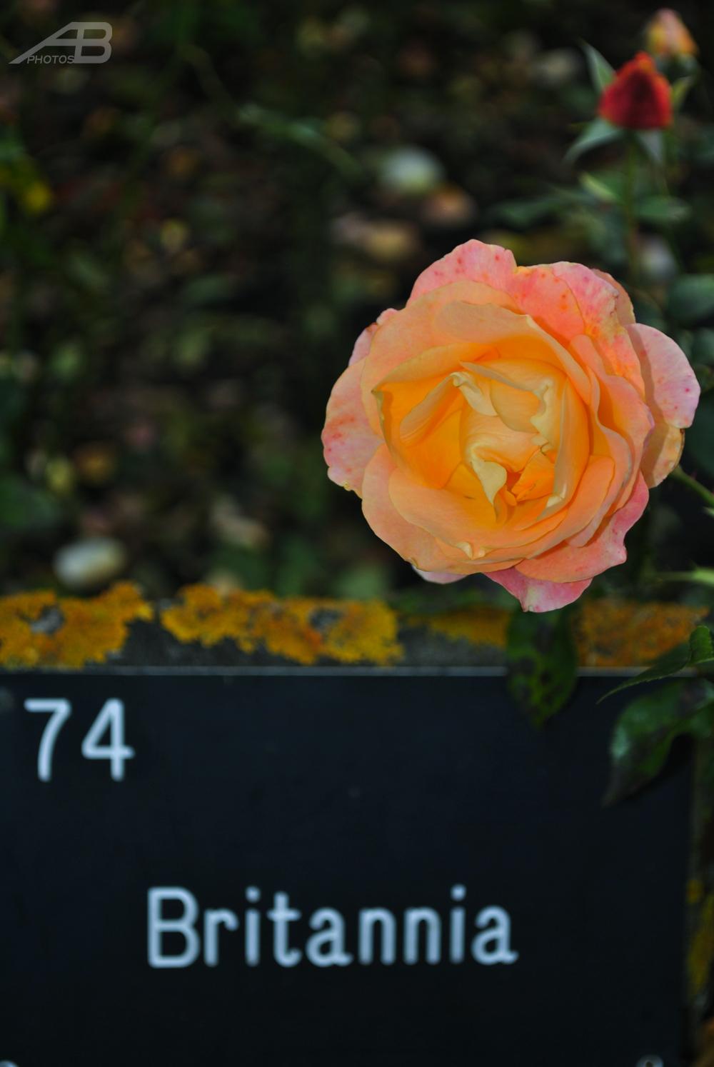 Britannia Rose, Regent's Park, London