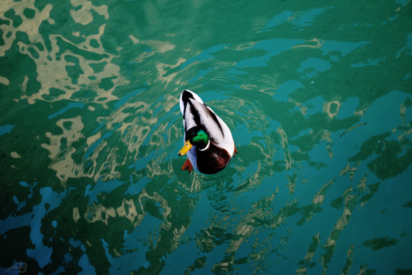 Duck in a moat