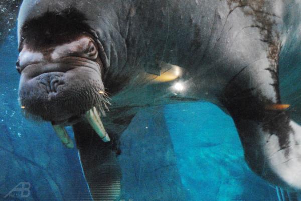 Walrus, Oceanographic Valencia Aquarium