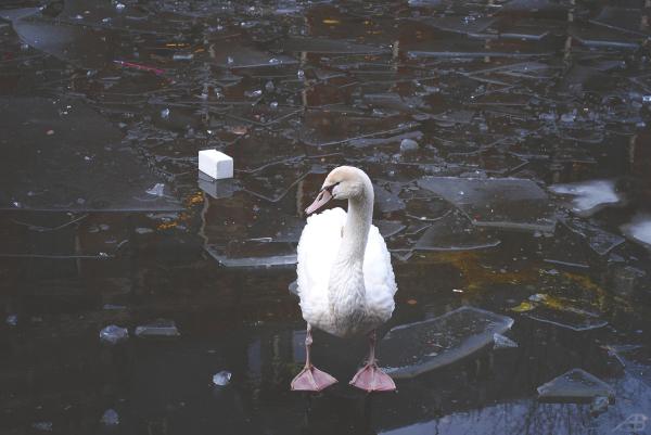 Swan on a frozen lake, Berlin