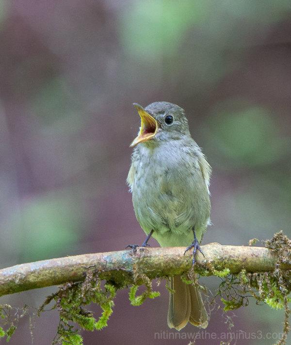 Flycatcher