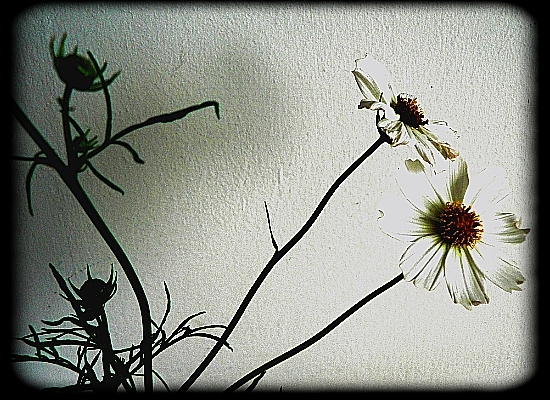 Daises (for Dylan Thomas)