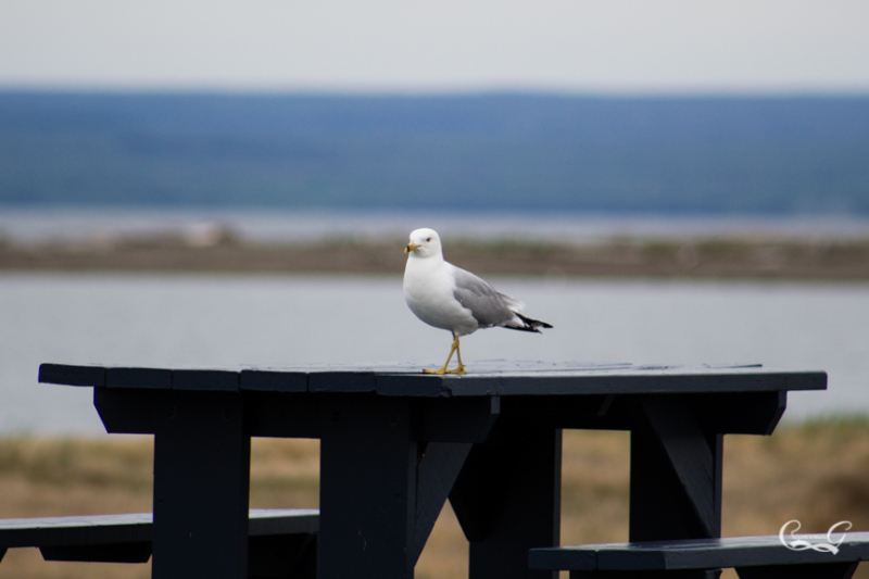 Seagull on table