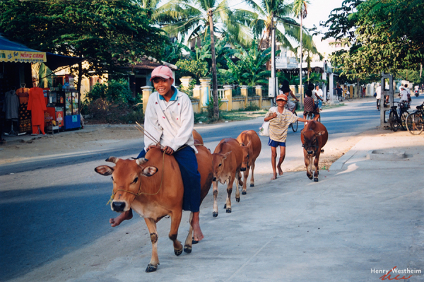 Boy riding a cow down the street, Hoi An, Vietnam