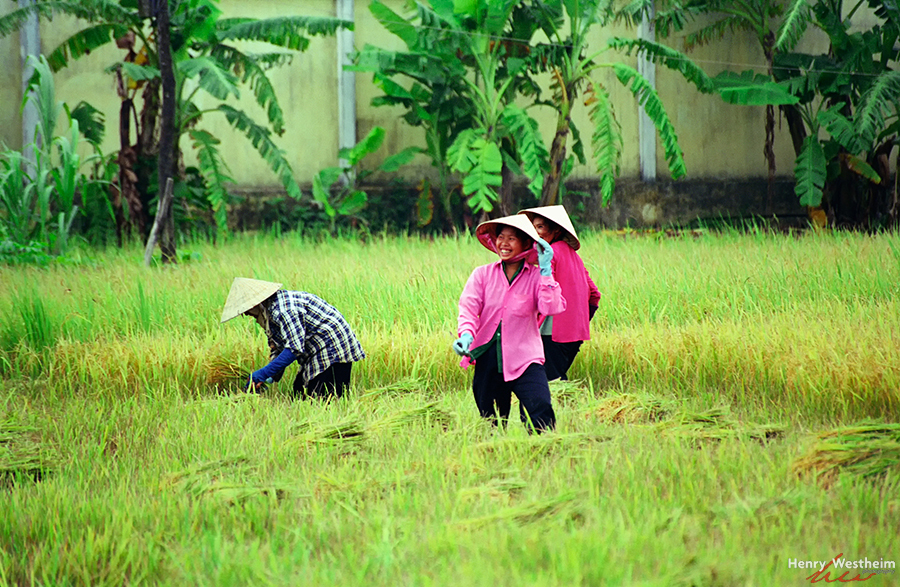 Vietnam, Mekong Delta. Women working in rice paddy