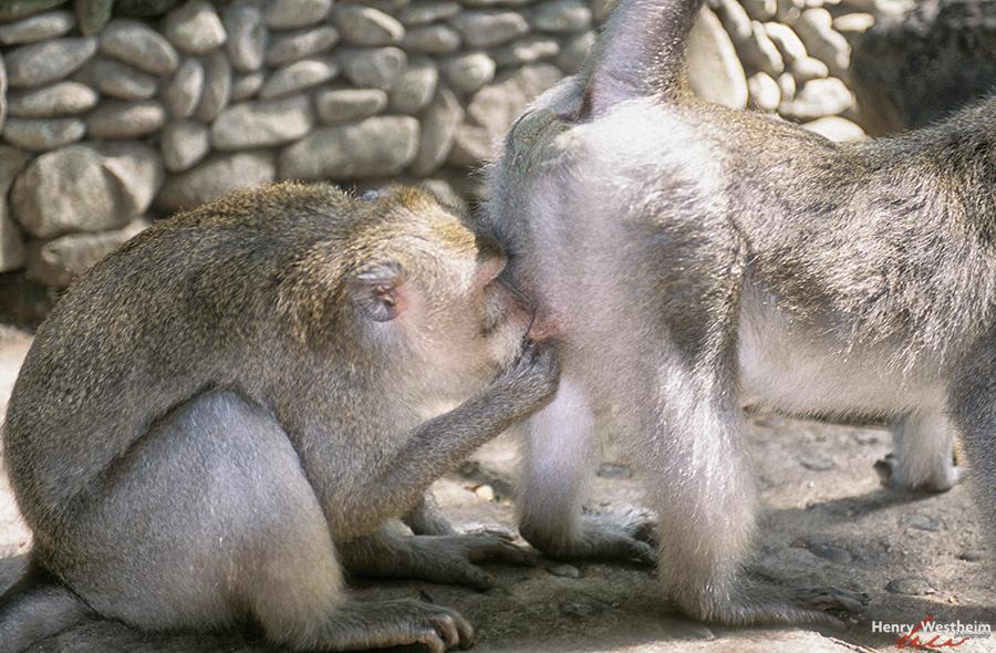 Balinese long-tailed monkeys, Monkey Forest, Ubud