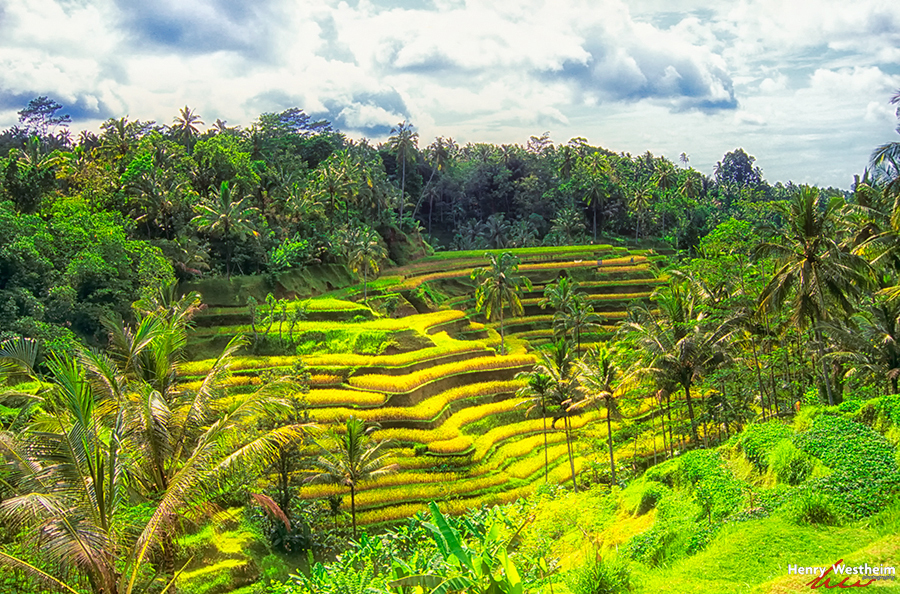 Bali, Tiered Rice Paddy, Indonesia
