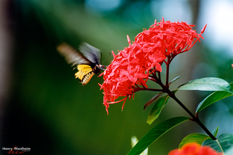 Laos, Vientiane, Butterfly And Flower