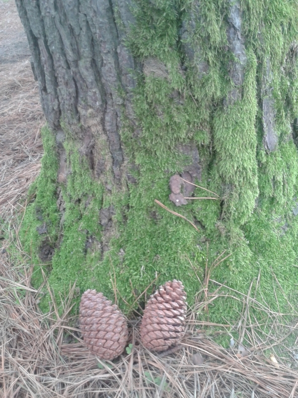 pine, tree