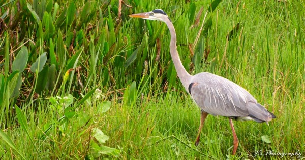 Great blue heron foraging for food